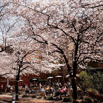 2015桜.jpg